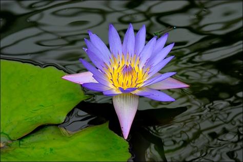 purplewaterflower