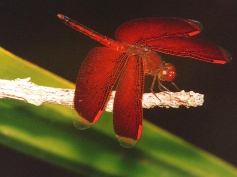 solomonislanddragonfly
